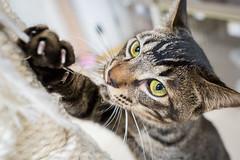String Warrior (johnmurch99) Tags: flickrcats japan otsuka pets projectsunday tokyo tokyocats cats