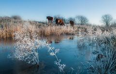 Do cows like cold weather? (Ingeborg Ruyken) Tags: januari 500pxs january empel winter natuurfotografie instagram 2019 flickr ochtend