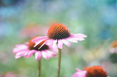Dreamy Days... (KissThePixel) Tags: bokeh beautiful bokehlicious beauty macro makro closeup depthoffield dof dofalicious dreamy soft softbokeh dreamybokeh pastel echinacea flower summer summerdays summermeadow meadow garden art nikon