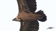 avvoltoio ( Gyps fulvus ) (Tonpiga) Tags: tonpiga uccelliinlibertà faunaselvatica avvoltoio grifonesardo gypsfulvus spazzinidellanatura
