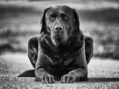 crisp (uwe.kast) Tags: labrador labradorretriever labradorredriver bichou bokeh black blackandwhite colorkey hund haustier dog panasonic lumix g9 100300