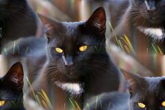 Flöckchen (samgi2) Tags: cats haustier tier indoor pets cat kitty kitten pet animal cute gato feline canon nrw germany katzen katze black welpen baby natur tabby kuschelig beautiful sony hitze sommer herbst autumn schwarz
