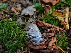 On peut y laisser des plumes ... (jmollien) Tags: nature plume foret automne beautiful