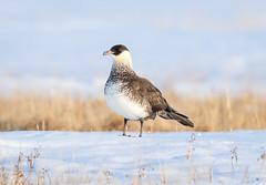 _V6A2496 (Tom Wilberding) Tags: animals birds utqiaġvik barrow alaska pomarinejaeger