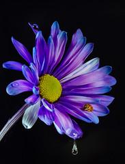 daisy blues (skeem125) Tags: flower daisy blue ladybug macro lightpainting waterdrops nature