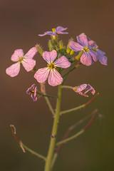 Purple weed (Old as you feel, Fujinite) Tags: weed flower plant yolobypass california nature outdoor flowering purple bokeh depthoffield dof fuji fujifilm fujinon xt3 100400
