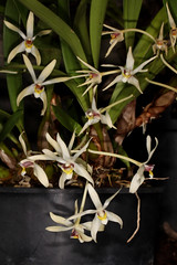 Dendrobium triflorum (syn Epigeneium triflorum) 2018-10-05 02 (JVinOZ) Tags: orchidspecies orchid dendrobium epigeneium