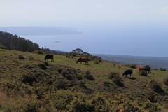 9483_Maui Haleakala Grazing Cattle (Chicamguy) Tags: hawaii hawaiian islands maui