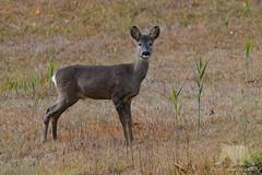 Roe Deer (fascinationwildlife) Tags: animal mammal wild wildlife winter nature natur national park austria österreich kärnten carinthia europe field hohe tauern roe deer reh