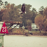 Bald eagle flies away with its twigs and prey thumbnail