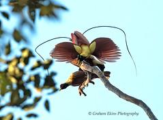 Red Bird of Paradise,  Paradisaea rubra, Endemic (Graham Ekins) Tags: redbirdofparadise paradisaearubra endemic rare waigeoisland westpapua indonesia grahamekins canon1dxii canon300mmf28ii bird tropicalforest 79902 rainforest
