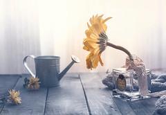 """Pequeños detalles"" (mariajoseuriospastor) Tags: flowers amarillo gerbera stilllife"