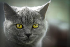 Eyes (Felix_65) Tags: gatto cat eyes occhi portrait nikond5100 nikkor50mm18