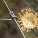Naturaleza enrejada flor dorada thumbnail