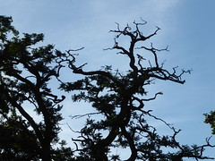 Not giving up (seikinsou) Tags: brussels belgium bruxelles belgique summer midsummer square marielouise tree bare stark dusk