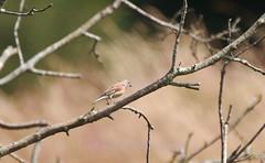 Common linnet , Linaria cannabina (14) (Geckoo76) Tags: commonlinnet linariacannabina linnet bird