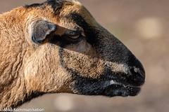 Schaf aufgenommen im Biotopwildpark Anholter Schweiz in Niederrhein - Sheep photographed in the biotope game park Anholter Schweiz in Lower Rhine (klausmoseleit) Tags: photographie herbst anholterschweiz deutschland nordrheinwestfalen niederrhein orte schafe bild jahreszeit säugetiere afsnikkor200500mm156eedvr orientation nikond7200 tiere querformatlandscape isselburg de