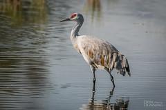 Sandhill Crane (Antigone canadensis) (Don Dunning) Tags: animals antigonecanadensis birds california canon7dmarkii canonef100400mmisiiusm crane merced mercednwr nationalwildliferefuge sandhillcrane unitedstates