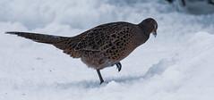 Fasaani (TheSaOk) Tags: fasaani yleluonto snow talvi lumi winter bird linnut birdlife phasianuscolchicus kanalintu