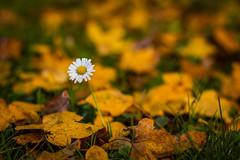 Flower and leafs .. (Julie Greg) Tags: autumn autumn2018 colours canon nature nautre leaf leafs park details yellow