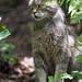 Last wild cat picture