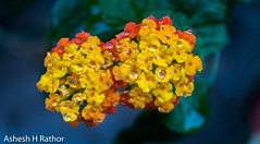 Waterdrops on flowers (asheshr) Tags: beautifulflowers beautifulmacro d7200 depthoffield dof flower flowercloseup flowermacro flowers lantana lantanas macro macrophotography nikon shrubverbenas waterdropsonflowers