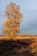 Autumn colors (robvanderwaal) Tags: 2018 autumn natuur birch nature boom nederland berk herfst trees robvanderwaalphotographycom bomen landschap landscape netherlands tree maasduinen outdoor