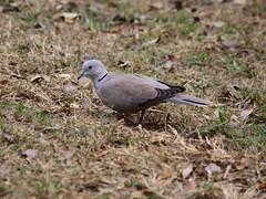 Dove in fall (hasham2) Tags: bird wildlife urban leaves fall canon 5dmk2 90300mm