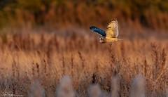SEO Hunting At Sunset (Steve (Hooky) Waddingham) Tags: animal countryside bird british nature hunting wild wildlife vermin voles mice prey owl