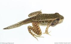 Metamorphosing Pickerel Frog (Pregilla) Tags: frog amphibian anuran ranidae ranapalustris rana herpetology lithobates palustris lithobatespalustris northamerica ohio cuyahogacounty froglet metamorphosis transformation