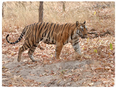 A Second Perfect Moment (The Spirit of the World ( On and Off)) Tags: tiger nature wildlife cat feline bigcat safari gamedrive india northernindia asia leaves dryseason forest trees park nationalpark