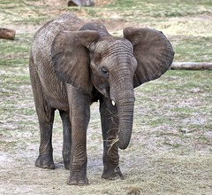 The African Elephant (Darts5) Tags: africanelephant elephant elephants animal nature mammal 7d2 7dmarkll 7dmarkii 7d2canon ef100400mmlll closeup canon7d2 canon7dmarkii canon7dmarkll canon canonef100400mmlii
