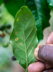 Damaged leaves means less photosynthesis which means lower production (Coffee Collective) Tags: kenya kieni coffee directtrade nyeri thecoffeecollective