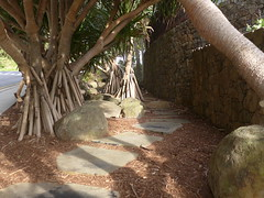 Beach pandanus (Pandanus tectorius) (tanetahi) Tags: pandanus beach wategosbeach capebyron nsw australia subtropical plant pandanaceae proproots
