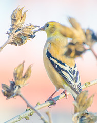 Naturaly yellow, (Omygodtom) Tags: wildlife golden goldfinch bokeh bird branch contrast nature natural d7100 nikon70300mmvrlens usgs