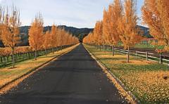 Peaceful Easy Feeling (skipmoore) Tags: napavalley autumn trees road drive