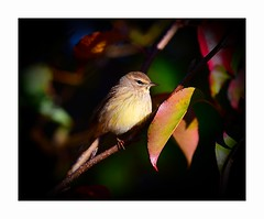 Where The Light Breaks Through (George McHenry Photography) Tags: birds songbirds warblers palmwarbler southcarolinabirds southcarolina
