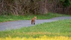 Red Fox - Vulpes vulpes | 2018 - 28 (RGL_Photography) Tags: carnivora fox gardenstate jerseyshore kits monmouthcounty mothernature newjersey nikonafs600mmf4gedvr nikond610 redfox us unitedstates vixen vulpesvulpes wildkingdom wildlife wildlifephotography