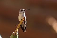 Desert hummingbird (sgnelson2) Tags: hummingbird desert tucson arizona