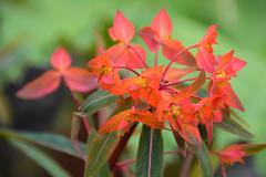Euphorbia griffithii (Seventh Heaven Photography **) Tags: flower flora bloom nikon d3200 euphorbia griffithii orange