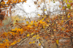 colours of autumn (Frau Koriander) Tags: autumn fall herbst nikond300s meyergörlitzdomiplan5028 oldlens manuallens bokeh dof depthoffield darmstadt germany deutschland berry red geäst zweige m42 nature natur 50mm domiplan 5028
