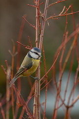 1811-1359 (AO'Brien) Tags: garden birds nature wildlife urban