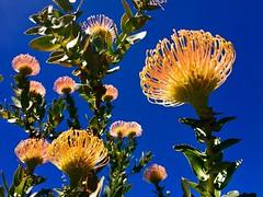 Protea (__ PeterCH51 __) Tags: leucospermumcordifolium protea pincushionprotea orangeflowers proteaflowers flower kirstenboschbotanicalgarden kirstenbosch capetown southafrica za iphone peterch51 westerncape