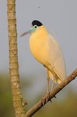 Garça-real / Capped Heron (anacm.silva) Tags: garçareal cappedheron heron garça ave bird wild wildlife nature natureza naturaleza birds aves brasil pantanal brazil pilherodiuspileatus