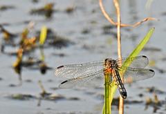 Blue Dasher ♀ - Libellule pachydiplax ♀ - Pachydiplax longipennis (P9_DSCN9692-1PE-20180816) (Michel Sansfacon) Tags: dragonfly libellule nikoncoolpixp900 parcnationaldesîlesdeboucherville parcsquébec faune