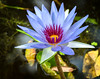 Blue-Lily-FB (Les Greenwood Photography) Tags: blue lily flower forida nature plant water garden