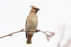 Waxwing (cazalegg) Tags: waxwings cumbria nature wildlife nikon