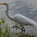 Great Egret in 40 Acre Lake