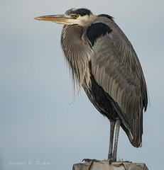 ND5_8640 Great Blue Heron (Wayne Duke 76) Tags: