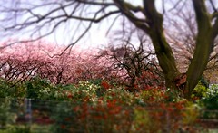 Thinking of springtime (farmspeedracer) Tags: nature park tree april spring 2016 cherry blossom pink garden germany